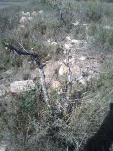 Recuperación y evolución de dos olivos yamadori (2014 - ACTUALIDAD) Th_984603175_DSC_0059_122_355lo
